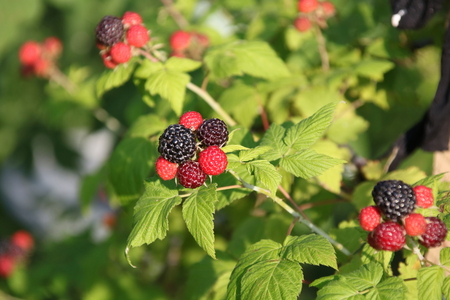 rubus: Black raspberries ,Rubus occidentalis, ripening at the tip of a cane in a home garden