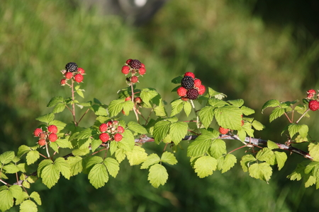 Black raspberries ,Rubus occidentalis, ripening at the tip of a cane in a home garden