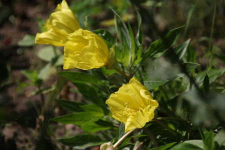 sundrops: Missouri evening primrose, Oenothera macrocarpa, Herbaceous perennial plant with yellow flowers Stock Photo