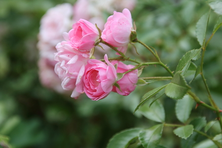 polychromatic: Beauty Pink Rose flower in the garden