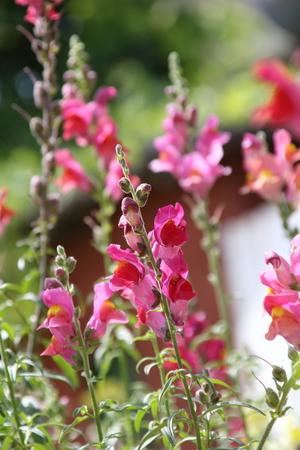 common snapdragon: Snap dragon flower Antirrhinum majus blooming in garden Stock Photo