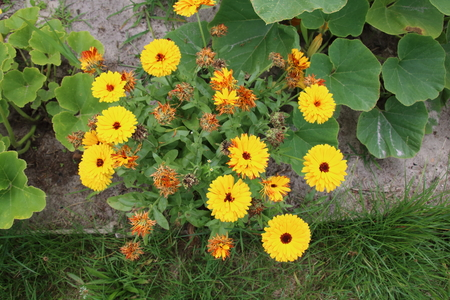 glandular: Calendula flowers is famous plants in the summer garden