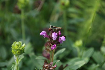 field mint: Prunella vulgaris with green grasshopper in the garden Stock Photo