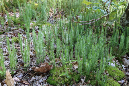 commune: Overgrown moss, Polytrichum commune, a species of moss found in many places with humidity and rainfall.