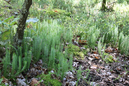 zygote: Overgrown moss, Polytrichum commune, a species of moss found in many places with humidity and rainfall.