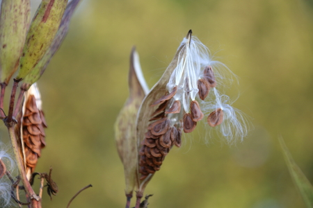 dispersed: Milkweed Pods with Seeds Being Dispersed in the Wind Stock Photo