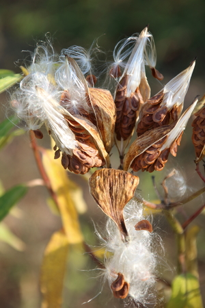 Milkweed Pods with Seeds Being Dispersed in the Wind Stock Photo