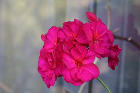 Red pelargonium or geranium flower in the garden Stock Photo