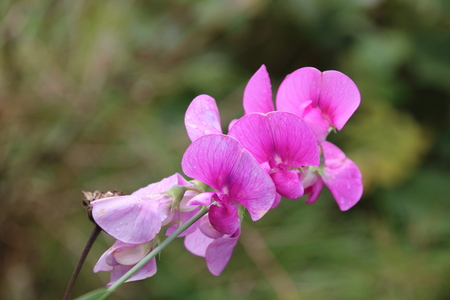 pea: Sweet pea Lathyrus odoratus flowers in garden Stock Photo