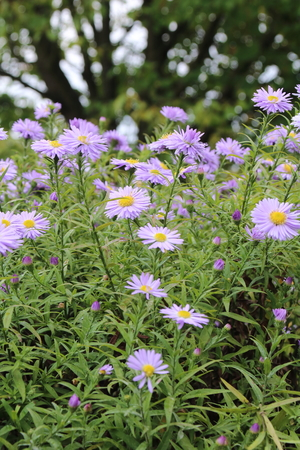 beautiful flower blue aster. in the autumn garden