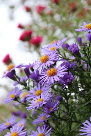 beautiful flower blue aster. in the autumn garden