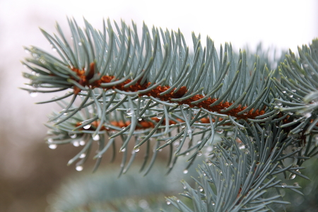 Blue spruce branches with drops of dew Stock Photo