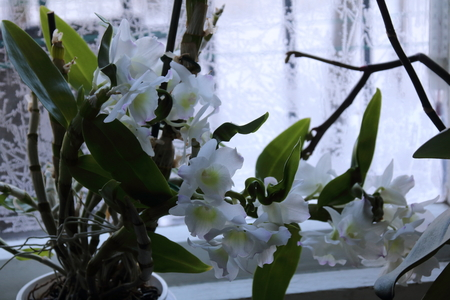 orchid house: White orchid flower is popular decorative house plant