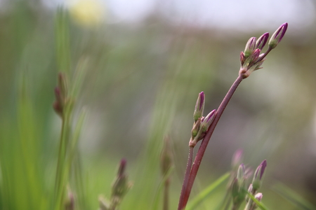 Rosa Blume Dodecatheon Meadia Shooting-Star Mit Grünen Hintergrund ...