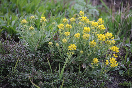 golddust: Golden Alyssum is a famous flower in the garden