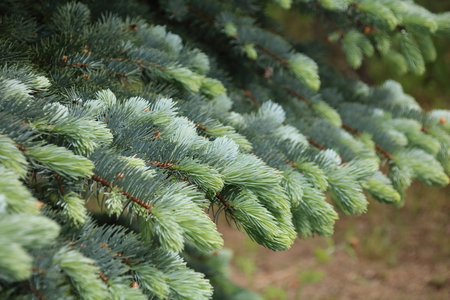 Blue spruce branches on a green background.