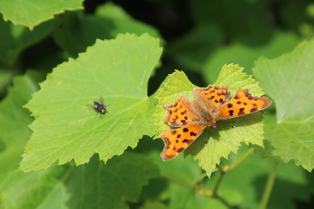 Buterfly, Small pearl-bordered fritillary, i on the vine leaves