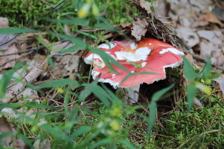 Mushrooms Russula. in the forest