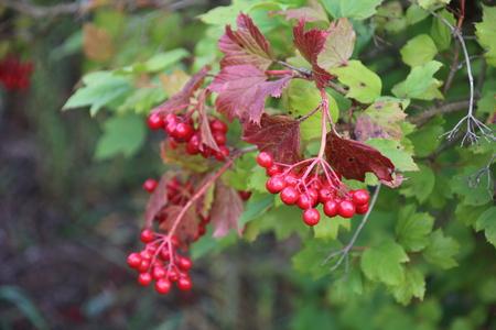 red berries on a bush viburnum in the fall season