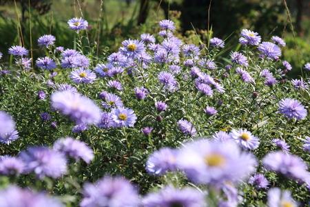 Beautiful flower blue aster. Stock Photo