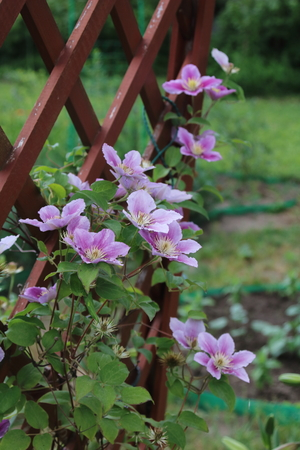 Light purple Clematis