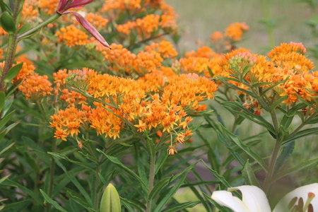 Asclepias tuberosa on Butterfly weed. Butterfly weed is a species of milkweed with clustered orange flowers from early summer to early autumn. Фото со стока