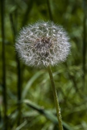 seeding: seeding dadelion in the forrest