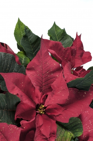 Red poinsettia photo