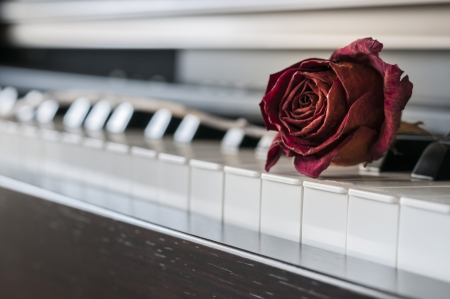 Dried Red Rose on a piano key