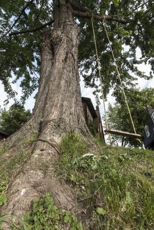 silver maple: swing tied on huge silver maple tree