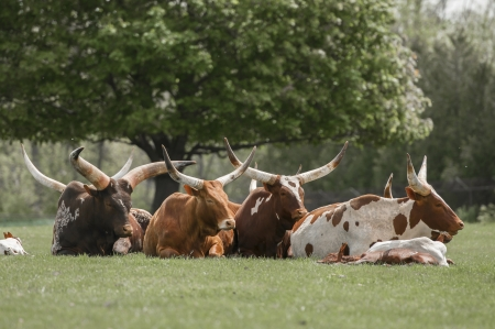 Herd of watusi cattle relaxing under the sun