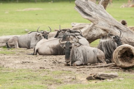 wiped out: Wildebeest relaxing under the sun at game reserve Stock Photo