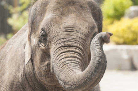clumsiness: Elephant with its trainer performing for people close up shot
