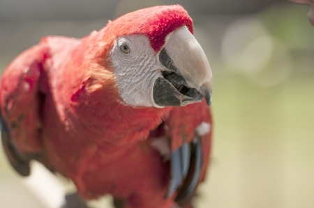 Close up portrait of souuth american red macaw photo