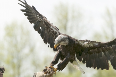 Bald eagle landing on its trainer arm photo