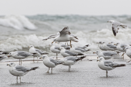 darts flying: Flock of seagull on the edge of wild water of point pelee