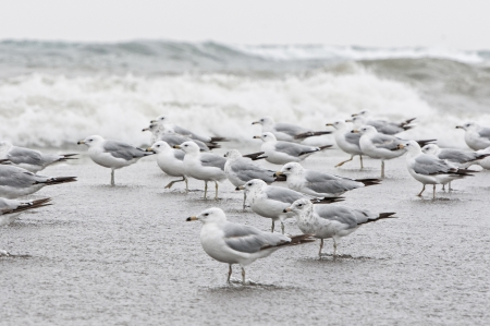 Flock of seagull on the edge of wild water of point pelee photo