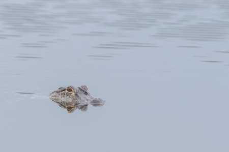 skimming: Alligator skimming over the water looking for prey Stock Photo