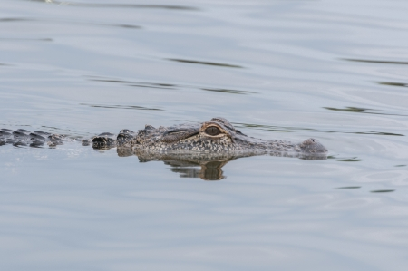 Alligator skimming over the water looking for prey photo