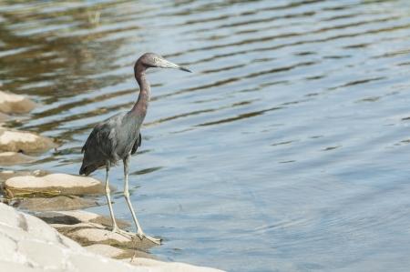 great blue heron: Great blue heron wading looking for food
