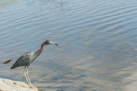 Great blue heron wading looking for food photo
