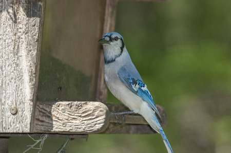 bluejay: Blue blue jay perched on a bird house