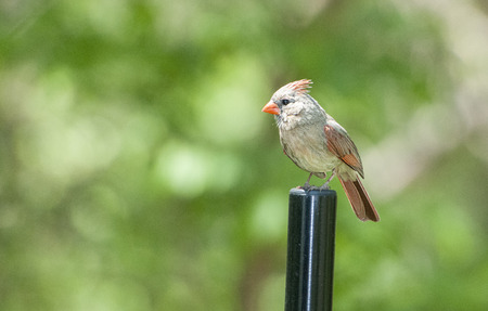 redbird: Female northern cardinal perched on a steel post. Stock Photo