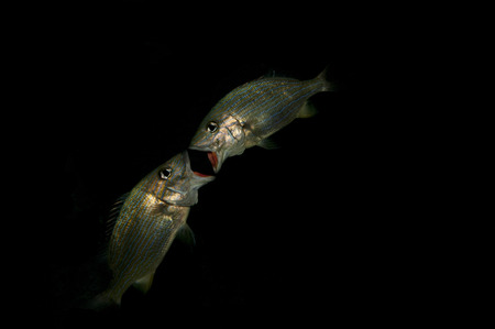 A pair of fish in the dark photo