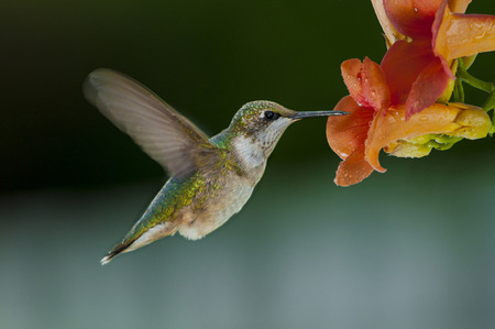 Tiny little humming bird feeding on a flowers necktar Stock Photo