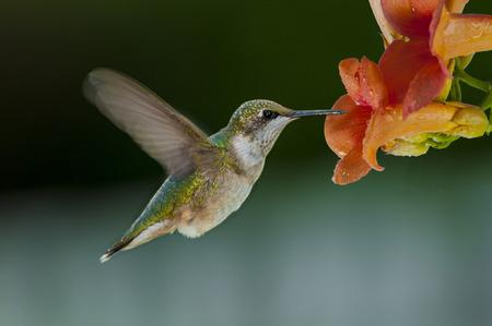 Tiny little humming bird feeding on a flowers necktar Standard-Bild