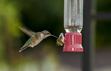 feeder: Humming bird and yellow jackets sharing sugar water in the feeder.