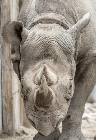 Eastern black rhinoceroses  Фото со стока