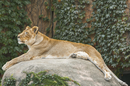 lounging: Lioness lounging on top of a rock during sunny day
