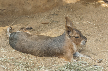 About the size of small dogs, Patagonian cavys rear legs are long, akin to kangaroos. They are brown with white undersides, with hindquarters marked with a white patch. A large shout and large eyes are prominent on the face. photo